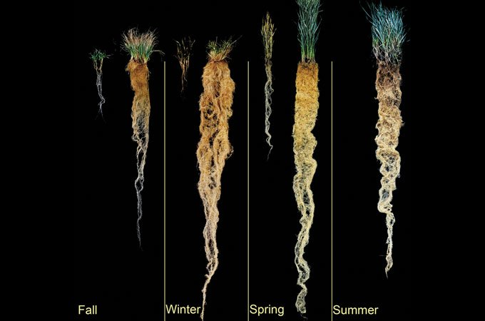 Figure 2. Annual (left) vs Perennial (right) Grass Root Systems